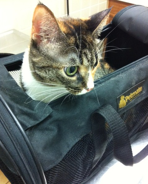 the cat at the vet