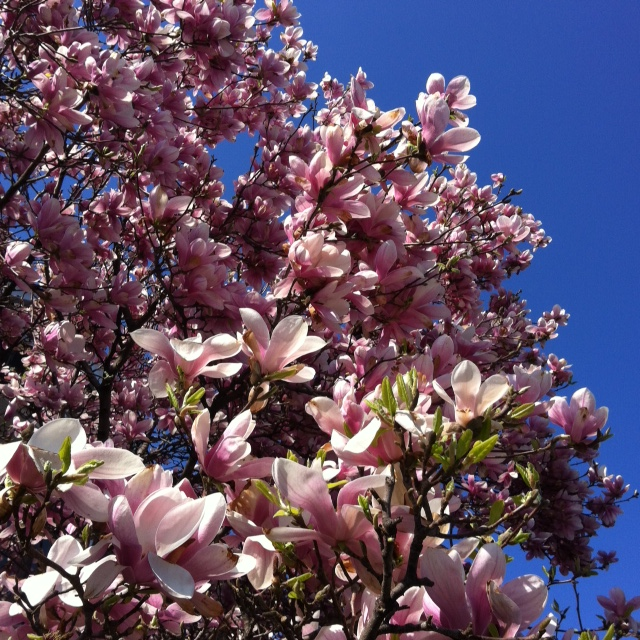 magnolia tree in Toronto spring 2014