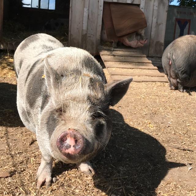 Pigs at Ralphys Retreat